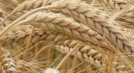 12 Amazing Benefits Of Rye For Skin, Hair, And Health