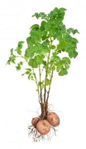 GV_potato_plant_t640
